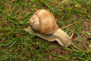 Burgundy snail 1
