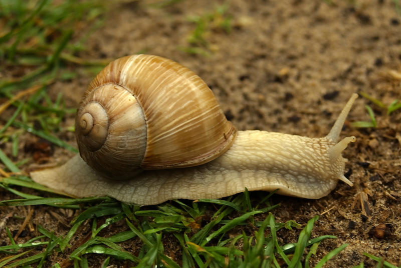 Burgundy snail 3