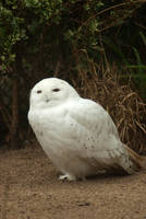 Snowy owl by steppelandstock