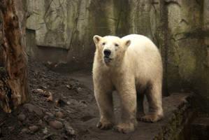 Polar Bear 4 by steppelandstock