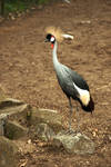 Grey Crowned Crane 1