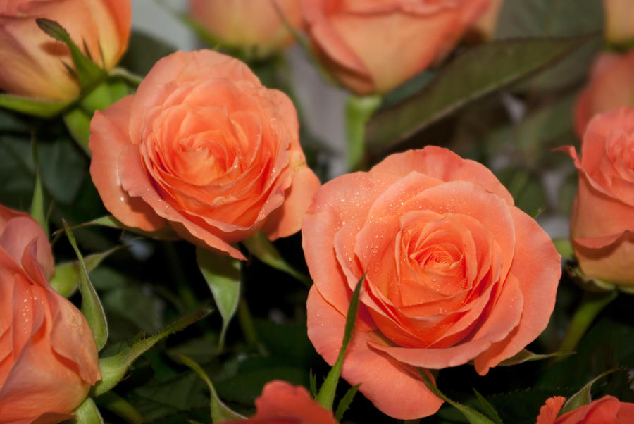 Image result for salmon colored roses