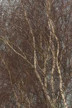 fine lace of birch branches 1
