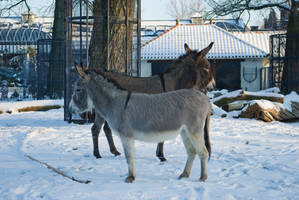 Two donkeys in the snow