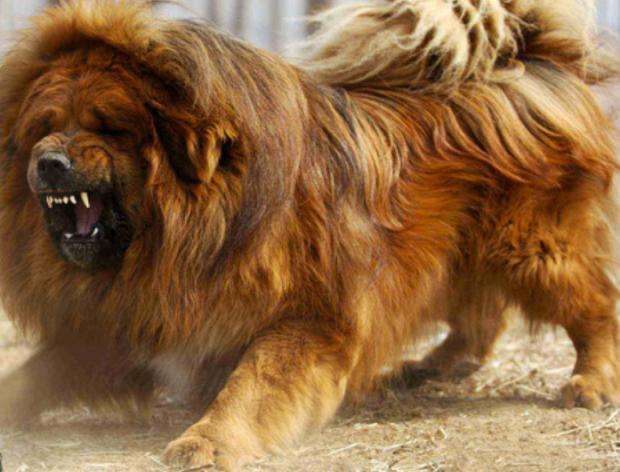 Tibetan Mastiff by BABY-GREEN-GOBLIN