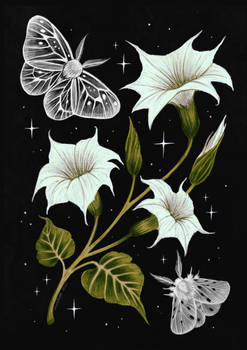 Moonflower and moths