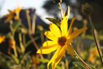 yellow flower by sHuels
