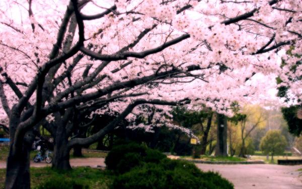 Cherry Blossoms by NataHebi
