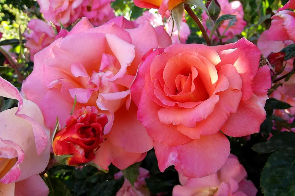 Steve's Roses by icelandiahaven