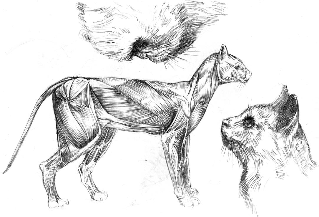 The cat\'s anatomy, muscles by ANDREYGORKOVENKO on DeviantArt