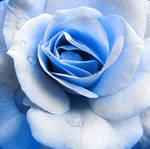 Blue Rose by InnoCYNt