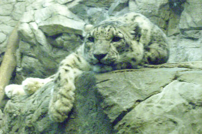 Snow Leopard Relaxing by LeftWingDuck