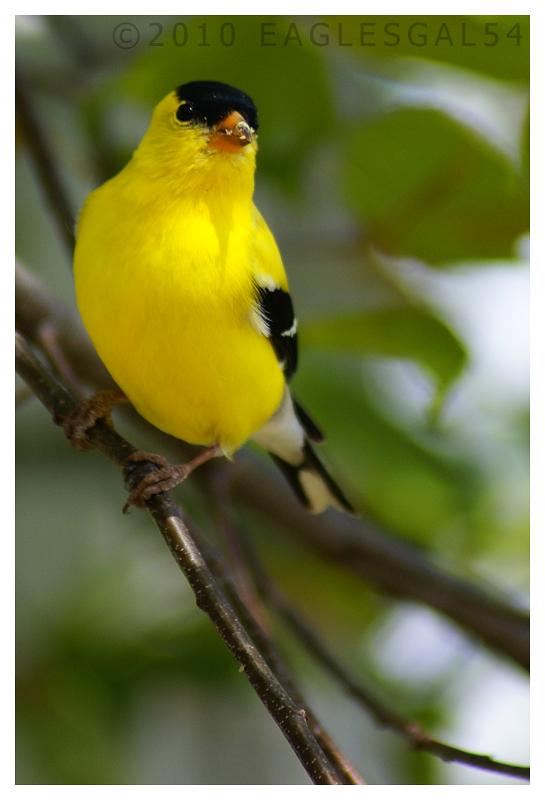 Songbird by eaglesgal54