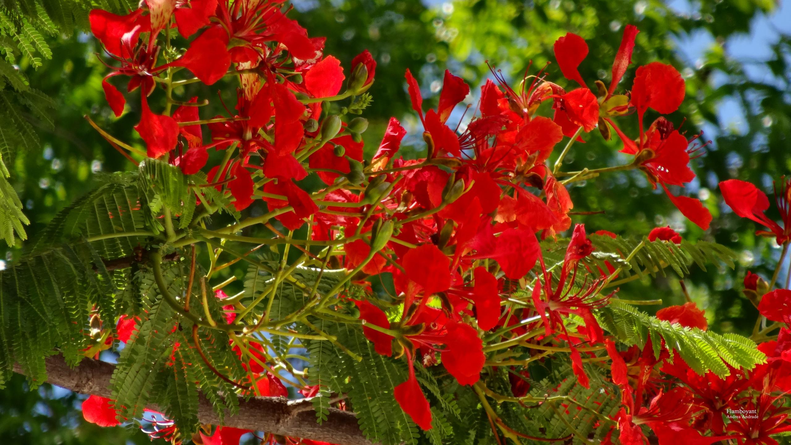 Lovely Flamboyant By AndreaAndrade Flamboyant By AndreaAndrade