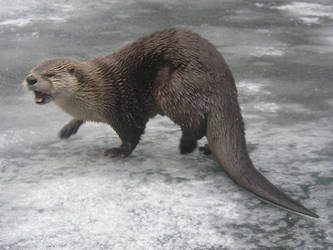 Otter say rawr by AlkseeyaKC