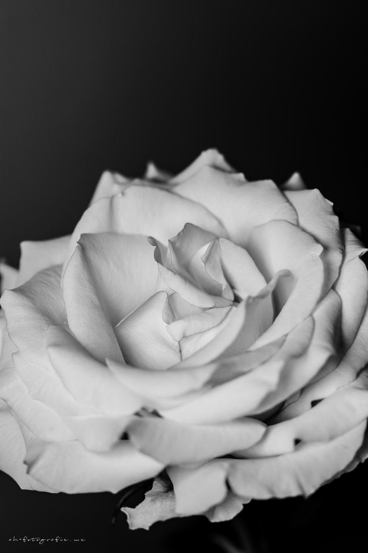 the rose by ah-fotografie-me
