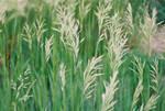 Nebraska Prairie Grass pt. 2