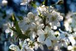 White Flower... again :D