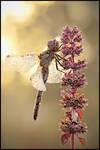 Dragonfly at the morning