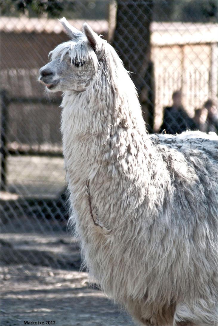the famous dA llama by Markotxe