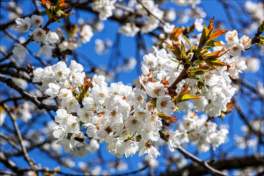 Cerisiers en fleur 1