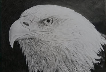 Bald Eagle by HenningBlom