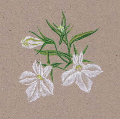 White Lobelia recrop by erin-c-1978