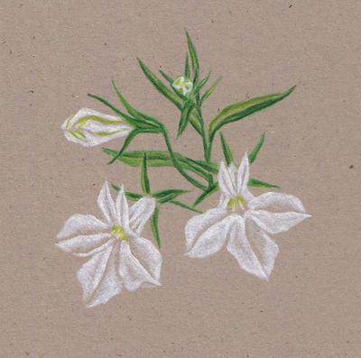 White Lobelia recrop by erin-c-1978
