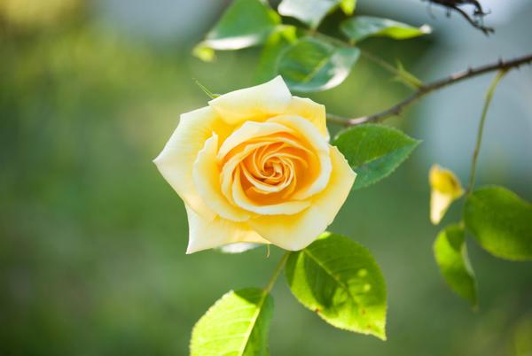 Rose du jardin by methoskagami on deviantart for Art du jardin zbinden sa