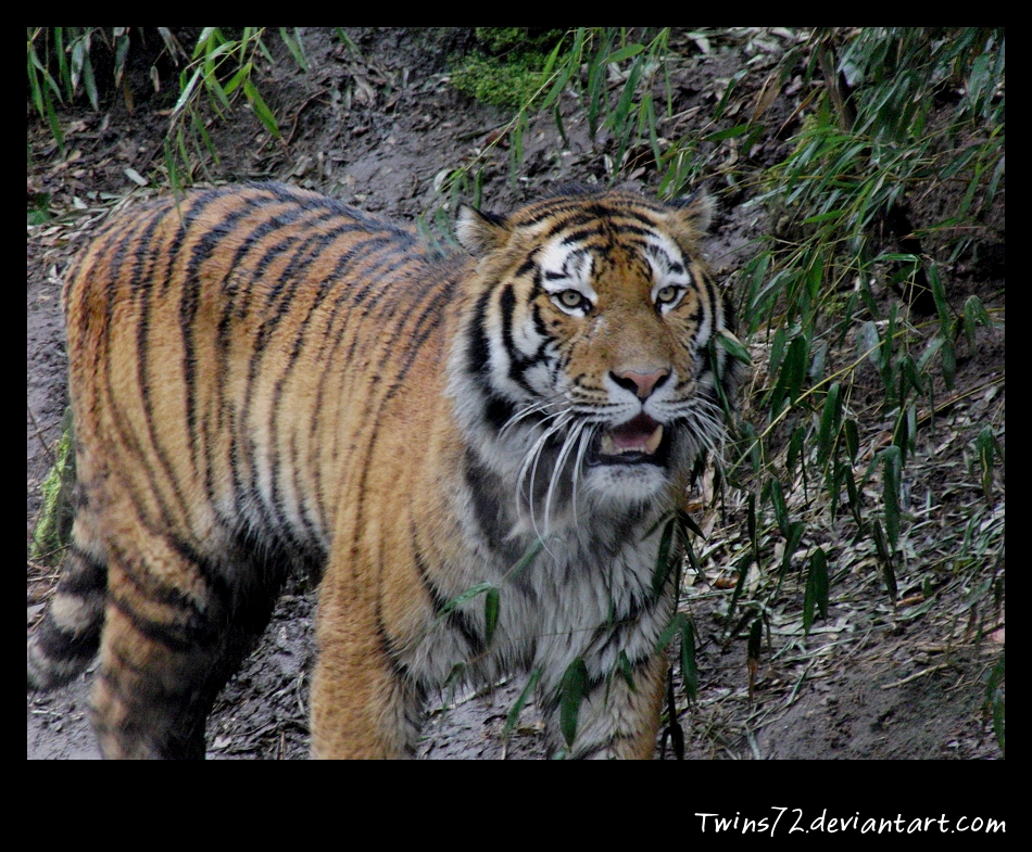 Panthera tigris altaica by Twins72