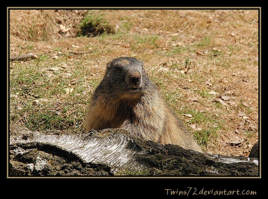 Marmot 1 by Twins72