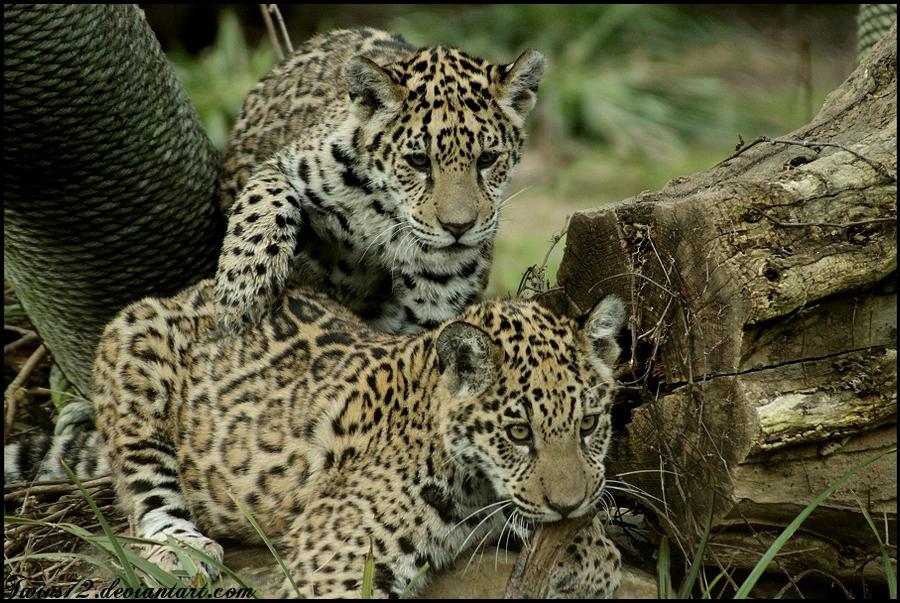 jaguar siblings by Twins72