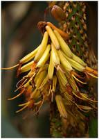 Allo Aloe