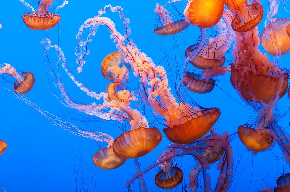 Monterey Bay Aquarium, Jellyfish Army by alierturk