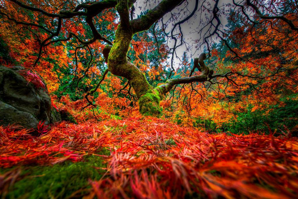 Portland, Japanese Garden Maple tree by alierturk