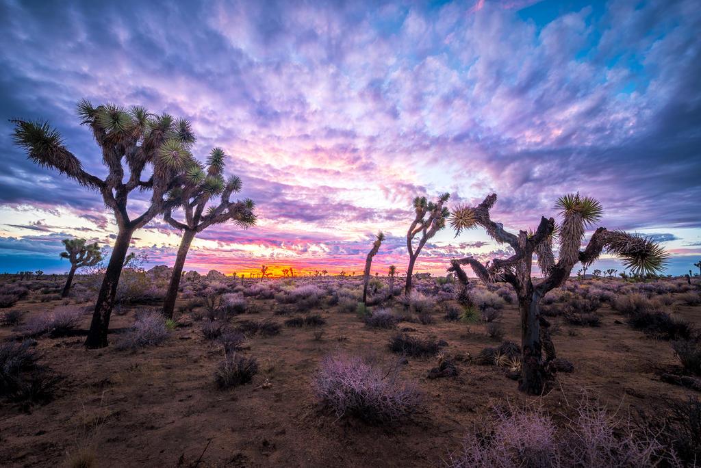 Joshua Trees, silence of desert by alierturk