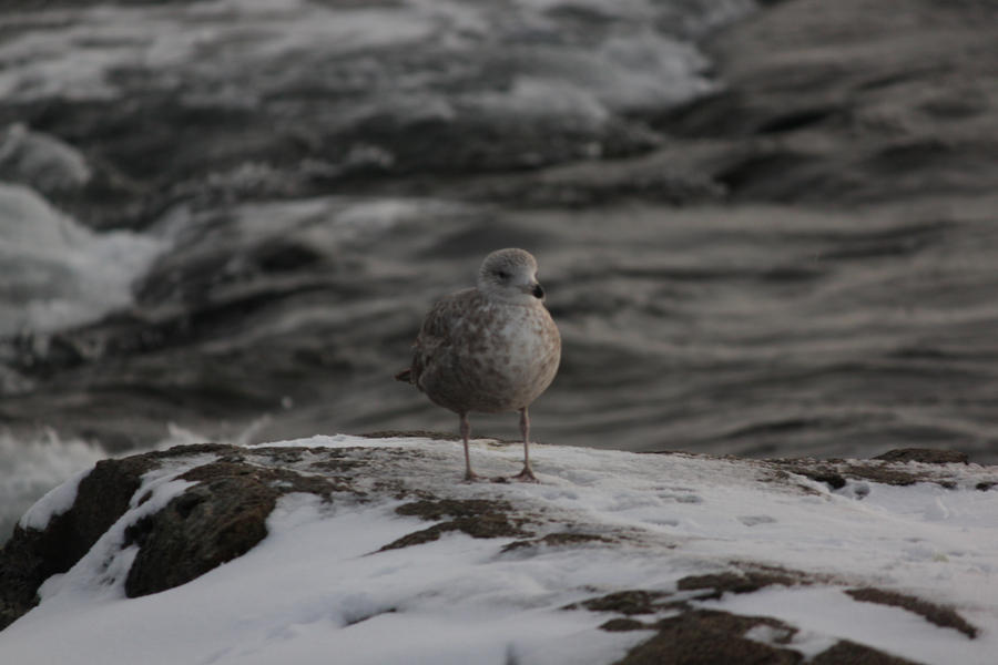 Snow Bird Seagull Rock wallpaper