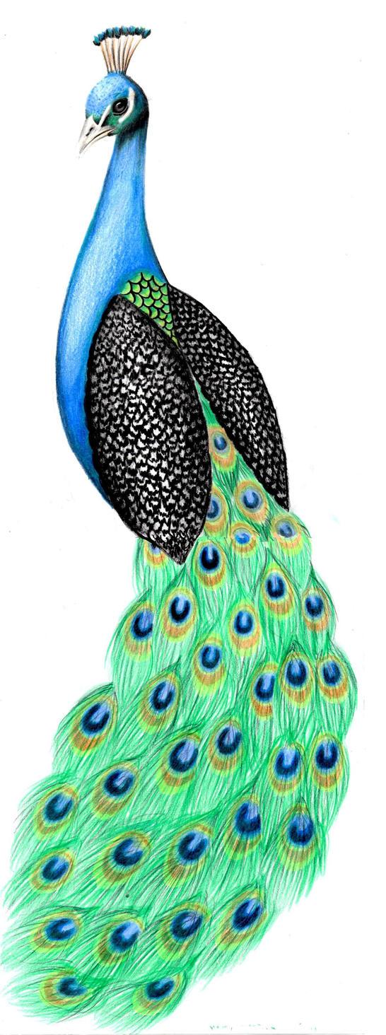 Peacock body outline - photo#25