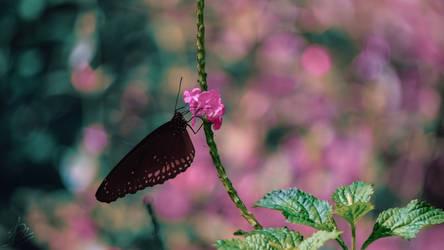 Lepidoptera by Dimen-Zion