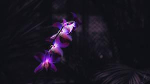 Orchid by Dimen-Zion
