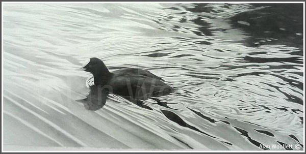 swimming coot graphite drawing by alanwoollett