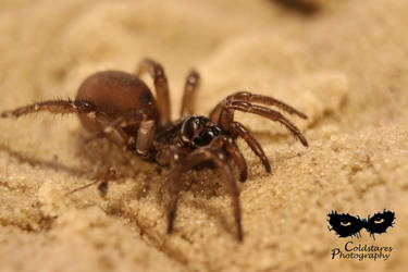 Trapdoor spider (Antrodiaetus pacificus) by coldstares
