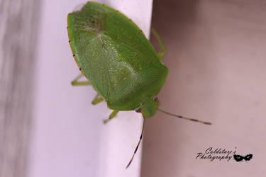 Green stink bug (Chinavia hilaris) by coldstares