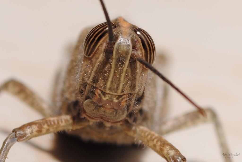 African grasshopper by ABDCrochet