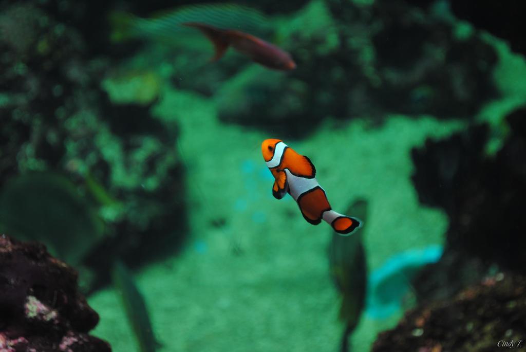 Clown fish by ABDCrochet