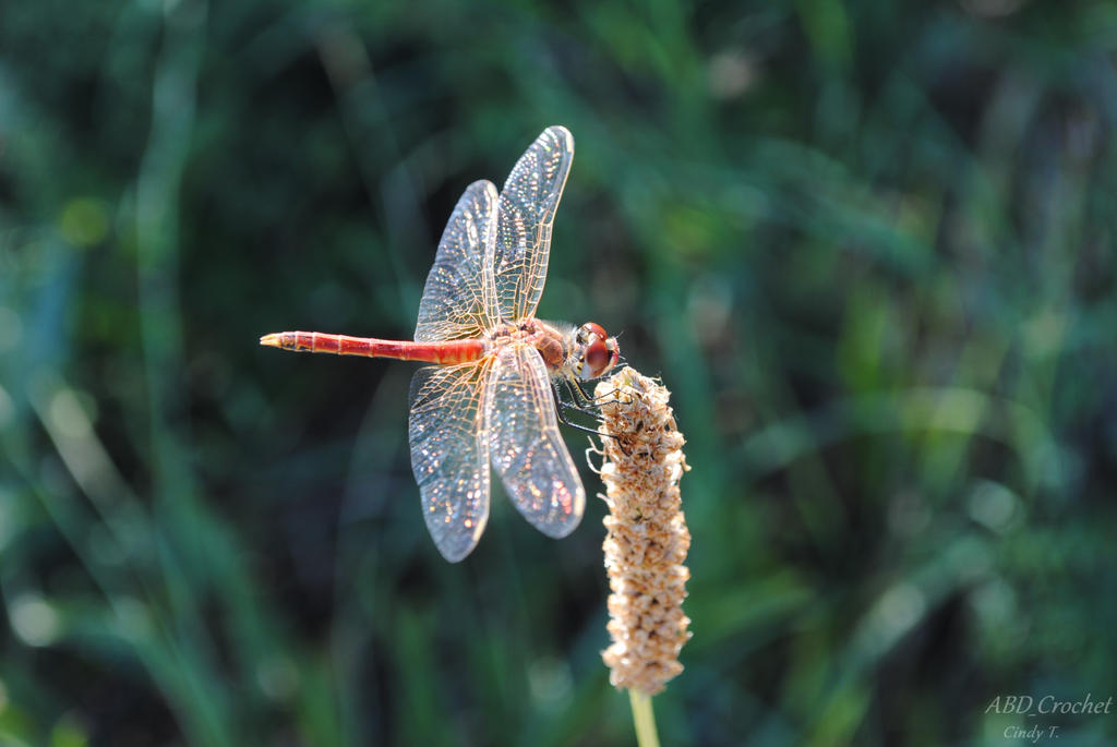 Dragonfly by ABDCrochet