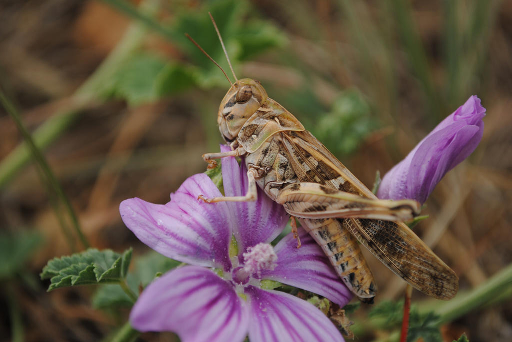 Grasshopper by ABDCrochet