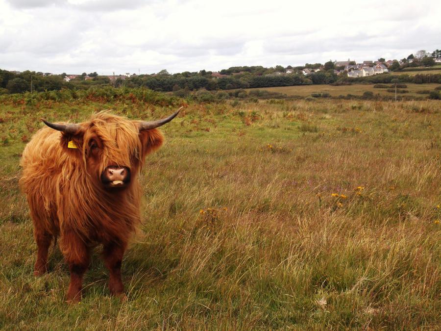 Scottish highland cattle by thepurplefunkymonkey on deviantart