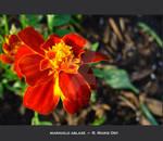 marigold ablaze