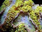 Reef Coral